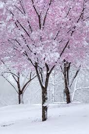 best 25 pink blossom tree ideas on blossom trees