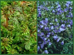 shade native plants jeffersonia diphylla carolyn u0027s shade gardens