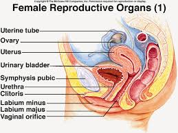 Female Sexual Anatomy Pictures Female Reproductive System