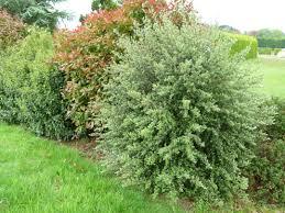 arbuste feuillage pourpre persistant arbustes d u0027ornement arbustes de grand développement à feuillage