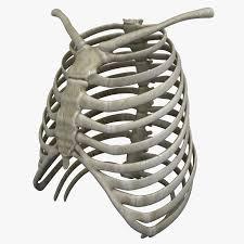 3d ribcage models turbosquid