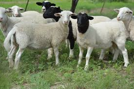 wet weather may trigger parasite problems for sheep goat flocks