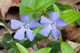 periwinkle color wikipedia
