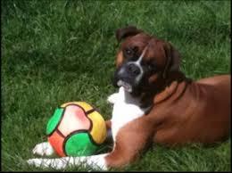 6 week pregnant boxer dog bouncing boxer dog plant minerals news