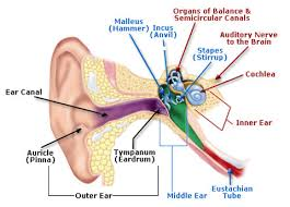 Inner Ear Anatomy And Physiology What Are The Main Parts Of The Ear Socratic