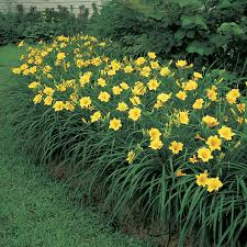 stella daylily the unique bloom habit of daylilies official of park seed