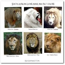 subspecies lion live africa