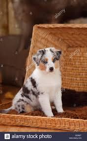 australian shepherd orange miniature australian shepherd puppy blue merle 10 weeks