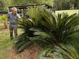 recycled coffee grounds give sago palms needed jolt news