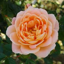 Patio Tree Rose by Patio Roses Buy Potted Roses Online