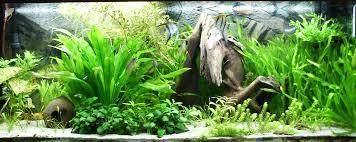planted angelfish tank freshwater aquarium plants create the