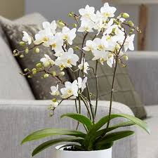 buy an orchid buy orchids delivery by waitrose garden in association with crocus