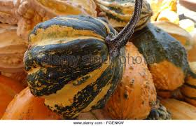 warty pear gourd stock photos warty pear gourd stock images alamy