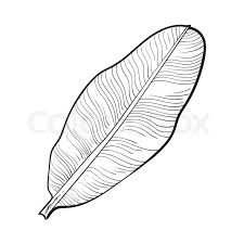 full fresh leaf of banana palm tree sketch style vector