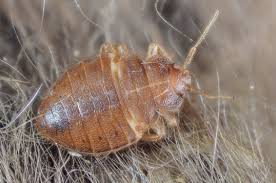 How To Identify Bed Bugs Why Are Bed Bugs So Resilient Connecticut Scientists Map Their