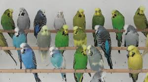 yellow and blue make green in parrots