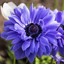 anemone plant anemone lord lieutenant bulbs purple anemone coronaria easy to
