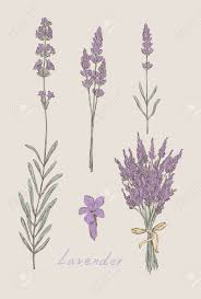 lavender hand drawn set royalty free cliparts vectors and stock