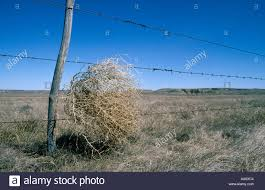 tumbleweed tumbleweed blown into barbwire fence in the big muddy badlands of