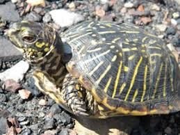 ornate box turtle care sheet