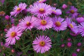 new england native plants how to grow new england asters and care for them