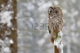 barn owl on the tree by day stock photo picture and