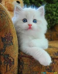 wallpaper cat whatsapp kitty blue eyes images cuteimages net