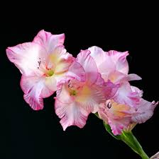 Gladiolus Flowers Rare Perennial Gladiolus Flower Seeds 100 Seeds Catchy Trend