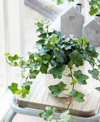 buy house plants now ivy u0027wonder u0027 bakker com