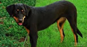 australian shepherd x rottweiler view ad australian shepherd rottweiler mix dog for adoption