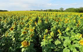 salina ks sunflower field by kansas state university grinter s sunflower farm lawrence kansas craft farm exploratory