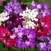 border rock garden flowers reimer seeds vegetable seeds