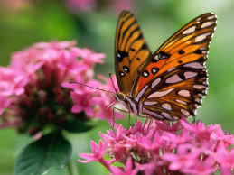 butterfly on a pink flower wallpaper butterflies animals 00429238