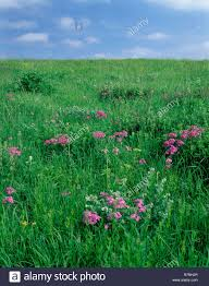 iowa native plants prairie phlox stock photos u0026 prairie phlox stock images alamy