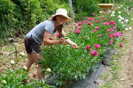 pick your own peonies at cedar rock gardens goodmorninggloucester