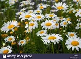 wild ox eye daisies or oxeye daisies leucanthemum vulgare with