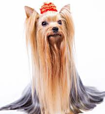 bichon frise vs yorkie 7 things we bet you didn u0027t know about yorkshire terriers