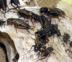 how to get rid of crickets inside your house dengarden