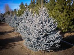 alberta spruce for sale the tree center