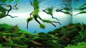 Aquascape Construction Epoxy Pin By Rebecca Kuhn On Aquaticplants Biotope Aquascape Fish