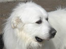 great pyrenees rescue provides wonderful dogs to good homes great pyrenees rescue evan