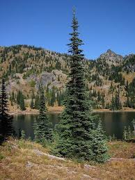 the firs the best christmas trees national forest foundation