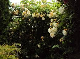 climbing rose for south facing wall gardening forum