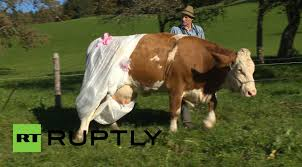 fertilize that german farmer diapers cows to protest new eu rules