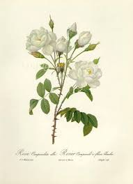 gardenia drawing google search moda pinterest gardenias