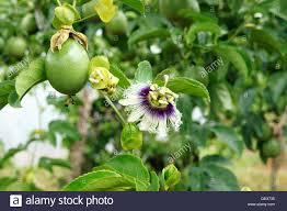 passion fruit flower stock photos u0026 passion fruit flower stock
