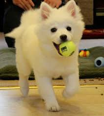 american eskimo dog forum are american eskimo u0027s cuddly dogs
