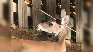 deer spotted with arrow through head in chapel hill abc11 com