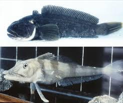 beyond the zebrafish diverse fish species for modeling human