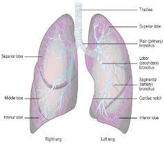 Apologia Human Anatomy And Physiology Human Anatomy Lung Anatomy Right Lung And Left Lung Apologia